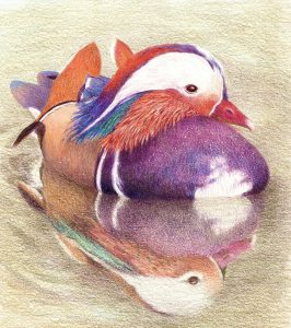 Coulson mandarin duck