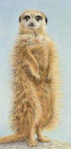 Couson meerkat