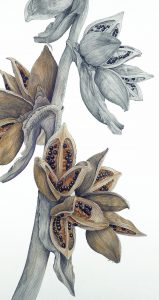 Tropical Seedpods in Graphite with Underpainting - Ann Swan @ Nature in Art