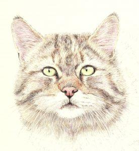 Scottish Wildcat Portrait, Coloursoft Pencils on Mountboard - Karen Coulson @ Nature in Art