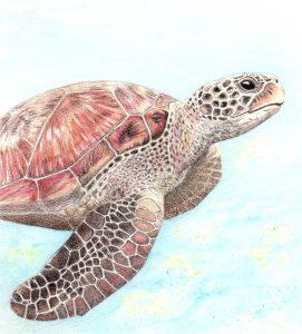 Underwater Turtle, Coloured Pencils on Mountboard - Karen Coulson @ Nature in Art
