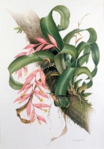 Etienne DeMonte (1931-2004) (Brazil). Billbergia amoena var Kilahini being visited by Hook-billed Hermit Hummingbirds. Watercolour & gouache. 1989.