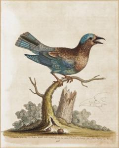 George Edwards (1694-1773) (British). Blue Jay. Hand coloured etching.