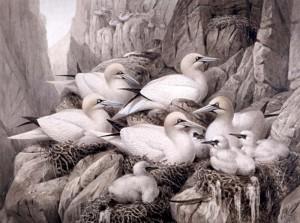 Johannes Gerrard Keulemans (1842-1912) (Holland). The Gannetry. Watercolour. 1885