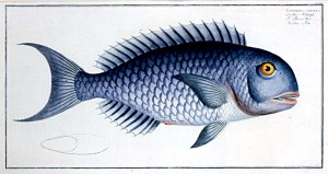 Unknown artist. The Blue Fish. Hand coloured engraving, Ludewig Schmidt (active 1780's).